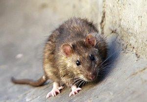 سمپاشی موش ، سمپاشی فاضلاب ، سمپاشی