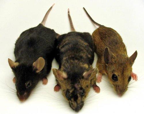 سمپاشی موش ، موش خانگی ، موش فاضلاب ، موش سقف