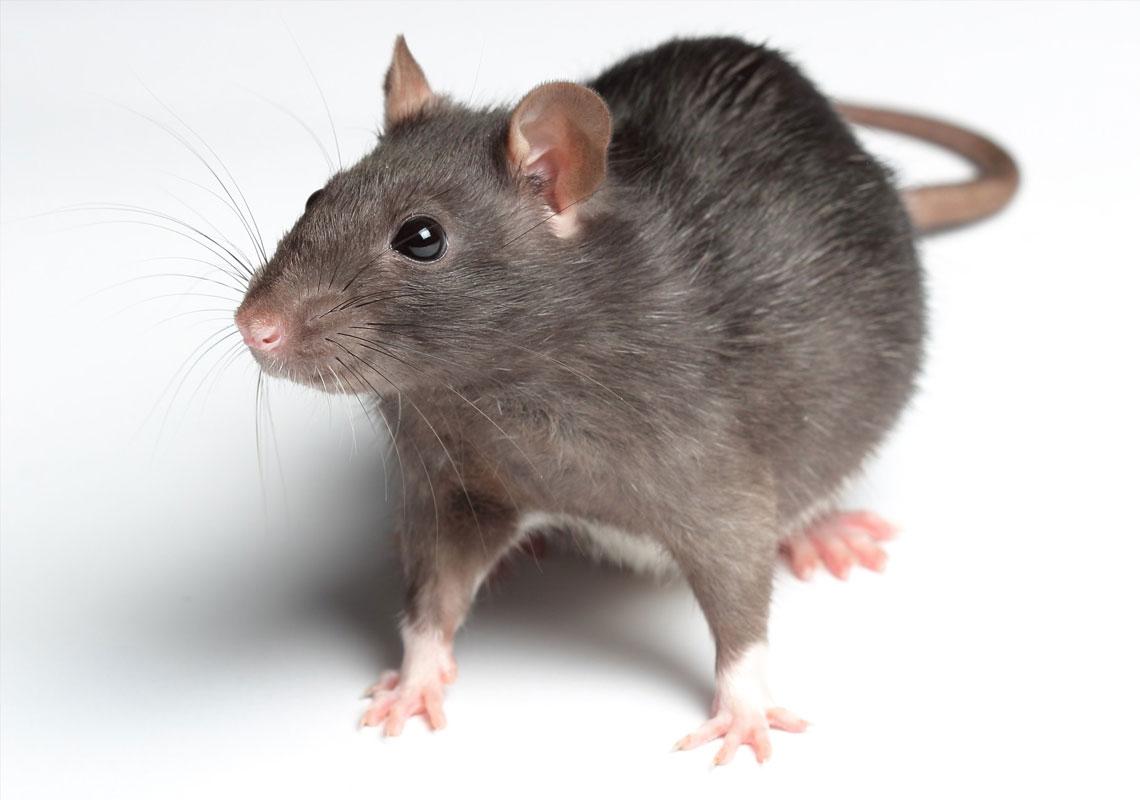 سمپاشی موش ، سمپاشی سوسک ، شرکتمعتبر سمپاشی ، سمپاشی در تهران