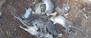 سمپاشی موش،سمپاشی جوندگان،طعمه گذاری موش،موش خانگی