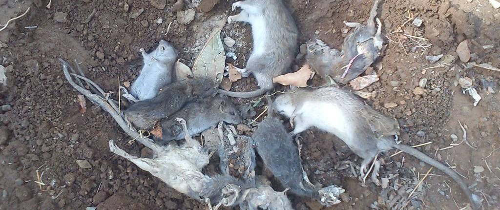 سمپاشی موش خانگی ، سمپاشی موش،سمپاشی جوندگان،طعمه گذاری موش،موش خانگی