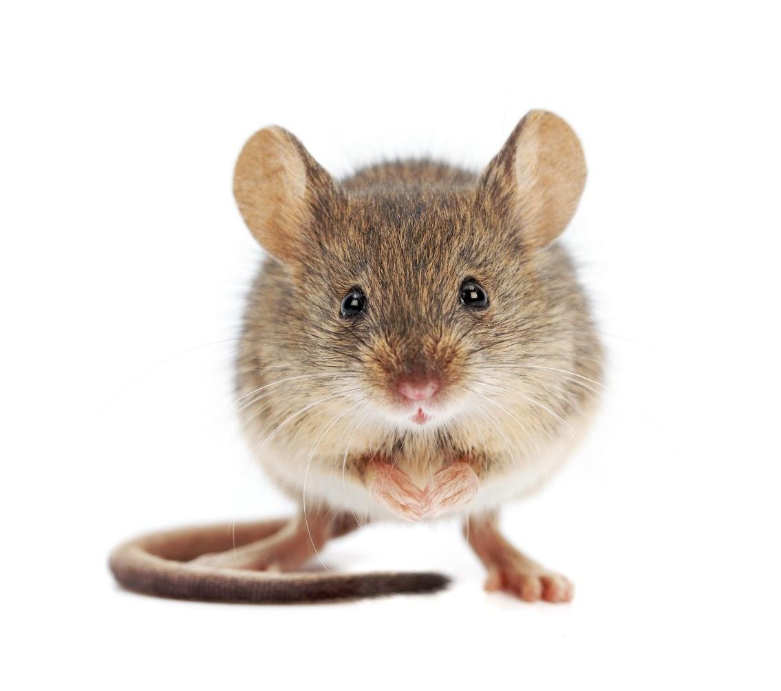 سمپاشی موش ، موش ها ، موش خانگی ، موش فاضلاب ، موش صحرا