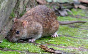 طعمه گذاری موش،سمپاشی موش،سمپاشی موش در ایران،طعمه گذاری موش در ادارات و کارخانجات،سمپاشی اصولی