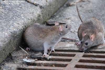 سمپاشی انواع موش،سمپاشی موش خانگی،سمپاشی منازل،سمپاشی ادارات و کارخانجات،سمپاشی
