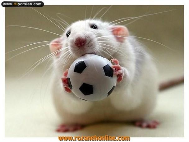 بیماریهای موش،موش و انتقال بیماری،سمپاشی موش،سمپاشی موش با ضمانت نامه کتبی،طعمه گذاری موش با ضمانت،سمپاشی سوسک فاضلاب،سمپاشی،