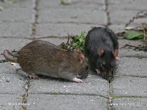 سمپاشی تضمینی موش،سمپاشی موش با ضمانت،طعمه گذاری موش،سمپاشی،سمپاشی موش خانگی
