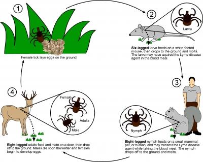 حشرات در انتقال بیماریها