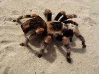 عنکبوتها و رتیل ها