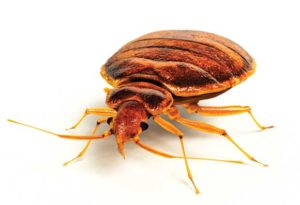 مضرات ساس ، ناقل بیماری ، حشرات ناقل بیماری ، حشراتی که انسان را بیمار میکنند