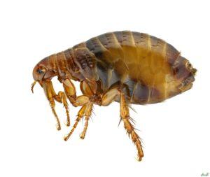 مضرات کک , حشره کک , ناقل بیماری , حشرات ناقل بیماری