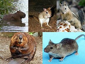 جوندگان ، موش ها ، همستر ، بیماری طاعون ، اهمیت بهداشتی موش ها ، انتقال بیماری ، انتقال بیماری توسط موش ها ، انتقال بیماری توسط جوندگان ، مبارزه با موش ها ، از بین بردن موش ها ، موش کثیف