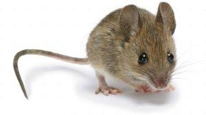 موشهای دارای اهمیت بهداشتی ، موش خانگی ، موش بندری ، موش بندری قهوه ای ، مبارزه با موش ها ، اهمیت بهداشتی موش ها ، جوندگان ، انواع موش ها ، مبارزه با موش ها ، سمپاشی موش ها ، کشتن موش ها