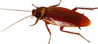 سوسک ها ، سوسک ها و انتقال بیماریها ، سوسک ها باعث چه بیماریهایی می شوند ، عوامل بیماری زای سوسک ها ، مضرات سوسک ، عوامل خطر سوسک