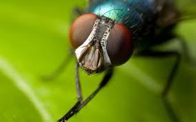 مگس ها ، مبارزه با مگس ها ،از بین بردن مگس در خانه ، عوامل بیماری زای مگس ، بیماری های منتقله از مگس ، میگروارگانیسم