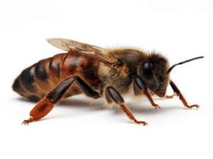مضرات زنبور ، حشرات ناقل بیماری ، سمپاشی ، زنبور عسل ، سمپاشی نگارین ، سمپاشی منازل