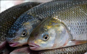 تشخیص ماهی سالم ، ماهی ، ماهی فاسد ، صلابت نعشی ، امعا و احشا ، فلس ماهی ، باله های ماهی