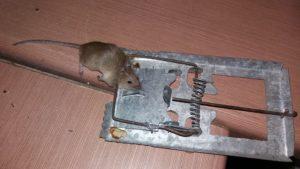 سمپاشی موش شمال تهران،طعمه گذاری موش در شمال تهران