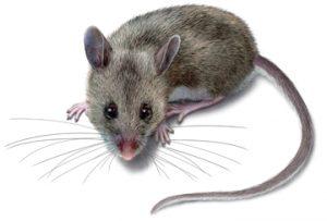 سمپاشی موش در تهران